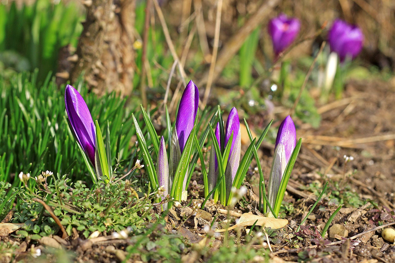 Purple Crocuses in March