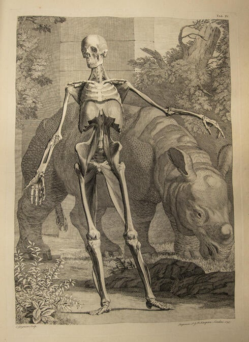 Bernhard Siegfried Albinus Tables of the Skeleton and Muscles of the Human Body 1749. Albinus went to great personal expense to produce this gorgeous folio. The work is more than two feet tall and is fancifully engraved by artist Jan Wandelaar, who also did the artwork in our 1725 Vesalius.